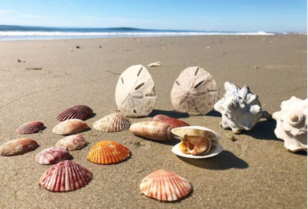 Live Swell obx sea shells