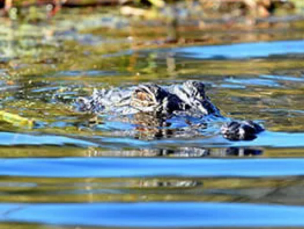 Alligator refuge coastal kayak tour